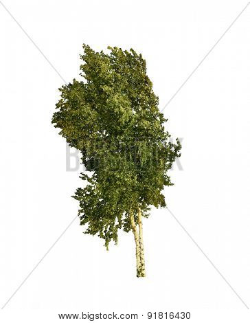 Digital Painting of Birch Tree on White Background