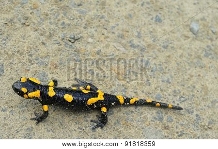 Salamander Lizard On The Forest Road