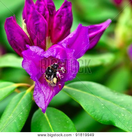 Bumblebee On A Flower Rhododendron