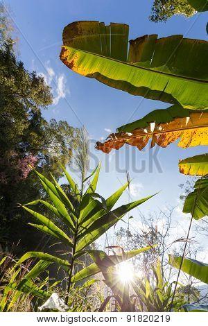 Banana tree and grass under blue sky, Thailand