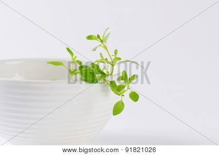fresh sprouts of oregano