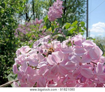 Lilac Buffon