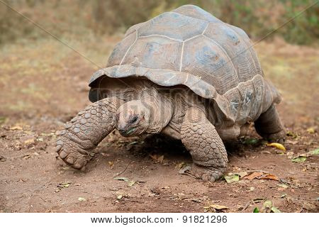 Aldabra giant tortoise (Aldabrachelys gigantea) on prison island, Zanzibar