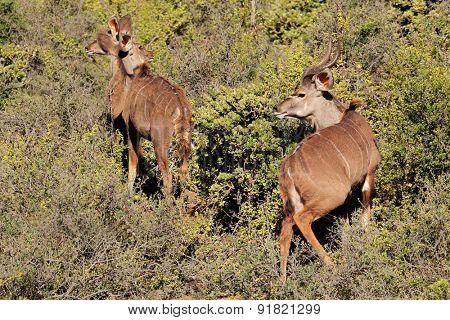 Kudu antelopes (Tragelaphus strepsiceros) in natural habitat, South Africa