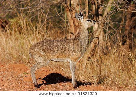 A small klipspringer antelope (Oreotragus oreotragus), South Africa