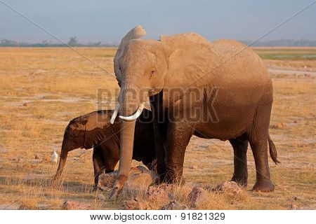 African elephant (Loxodonta africana) cow with young calf, Amboseli National Park, Kenya