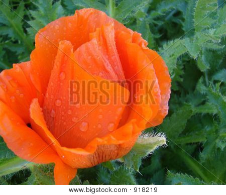 Orangepoppy