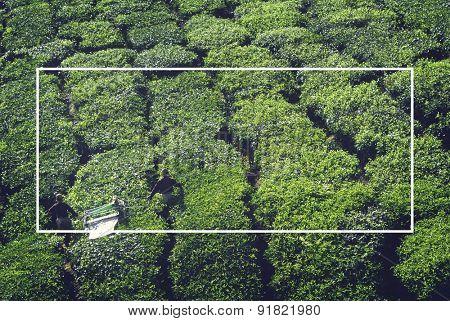 Tea Harvest Agriculture Natural Organic Concept