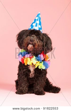 Little dog having birthday with chain and hat