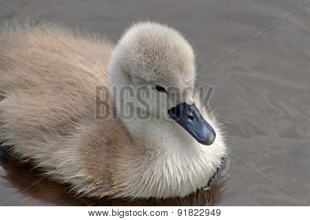 Baby Mute Swan swimming on calm waters