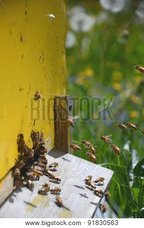 Busy bees returning with honey and pollen in apiary in the springtime