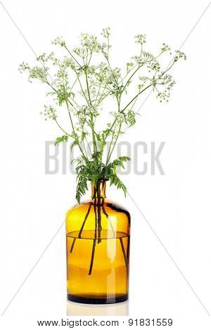 Yarrow branches in apothecary bottle isolated on white background