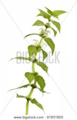 Lamium album plant isolated on white background