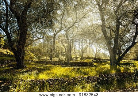 Olive field with old olive tree, Corfu, Greece