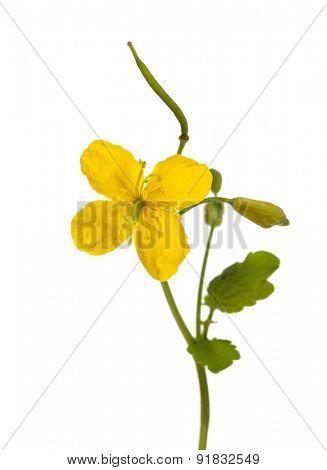 greater celandine, tetterwort or nipplewort flower isolated on white background