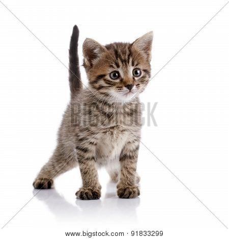 Striped Amusing Domestic Kitten.