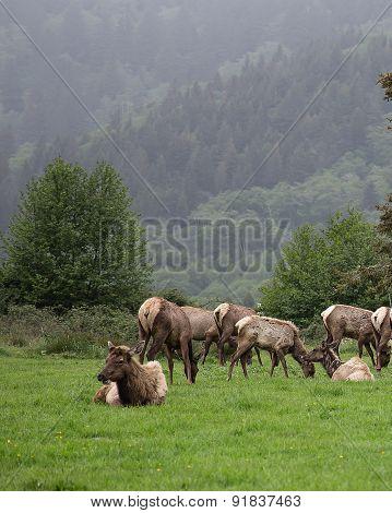 Coast Elk