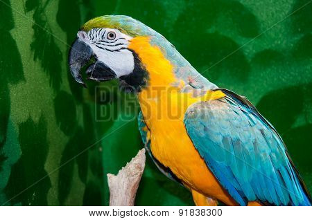 Blue-and-yellow Macaw Or Ara Ararauna