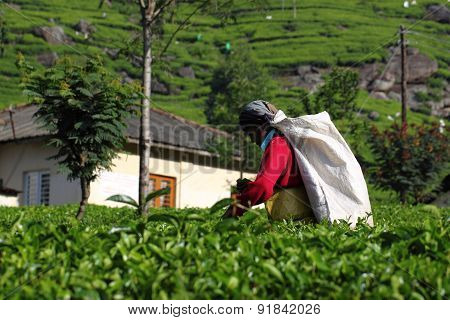 Haputale, Sri Lanka, tea picking