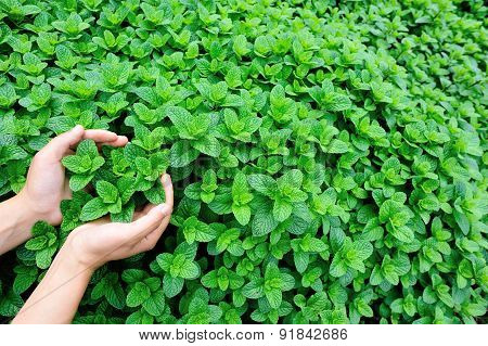 hands protect mint plant grow at vegetable garden