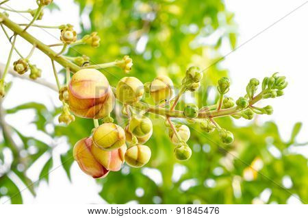 Young Sala Or Cannon Ball, Cannon Ball Tree, Sal Tree, Sal Of India
