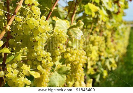 Ripe grapes in Laxaux, Switzerland