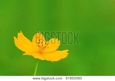 Yellow Cosmos flower ,yellow Flower On White Background
