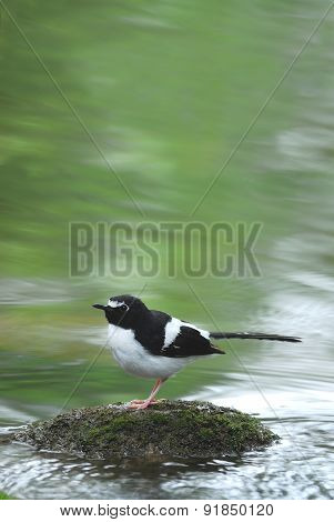 Bird And River (black-backed Forktail) Perching On Stone For Bac