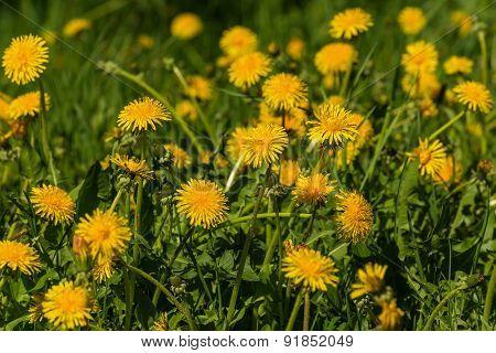 Dandelion Flowers Meadow