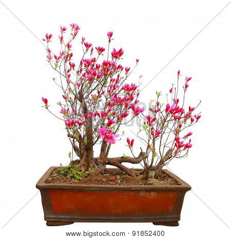 Red Azalea Bonsai