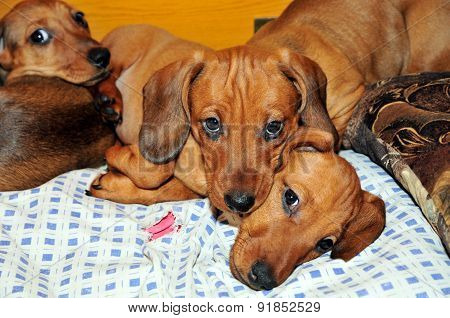 Puppies while resting in the aviary, puppies boys. Dachshund.