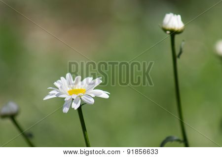 Chamomile close-up. White daisy flowers.White daisies.