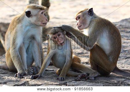 A macaque; a rhesus monkey