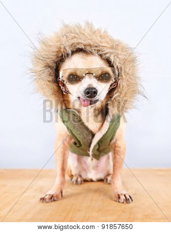 a cute chihuahua with a winter coat and glasses on