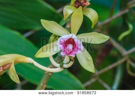 Vanilla pilifera Rare species wild orchids