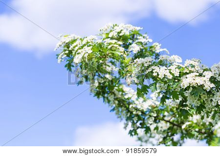 Blooming Hawthorn On Sky Background