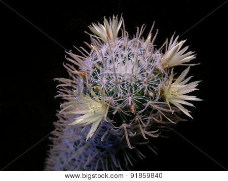 Mammillaria cactus with yellow flowers