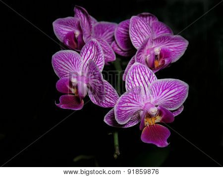 Striped purple-white orchid flower