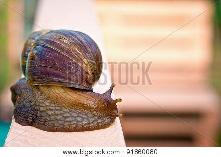 Giant snail - Achatina