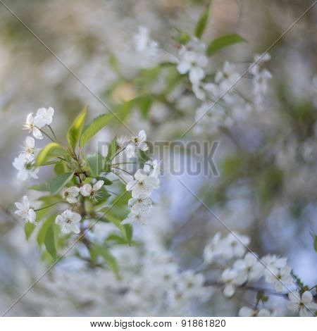 Blooming Branches Of cherry-tree