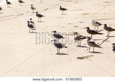 Seagulls In The Sand