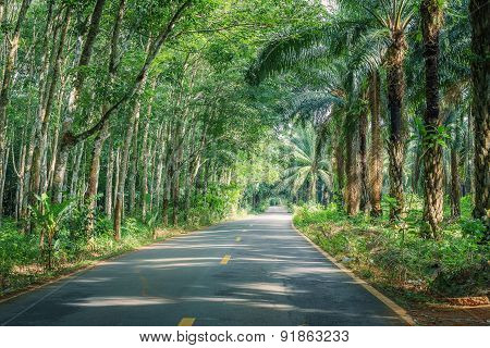 Road Between Row of expired para rubber tree and palm tree