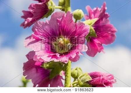 Mallow Flower With A Bee