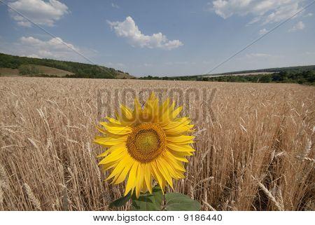 Sunflower In A Wheaten Field.