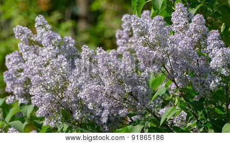 Branch of lilac in bloom in the spring close-up