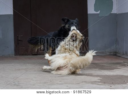 Two Stray Dogs Fighting