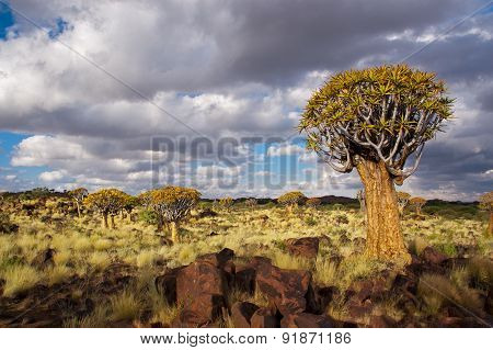 Quiver tree forest landscape. Kokerbooms in Namibia, Africa. African nature