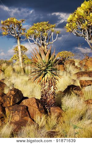 Quiver tree forest. Kokerbooms in Namibia, Africa. African nature