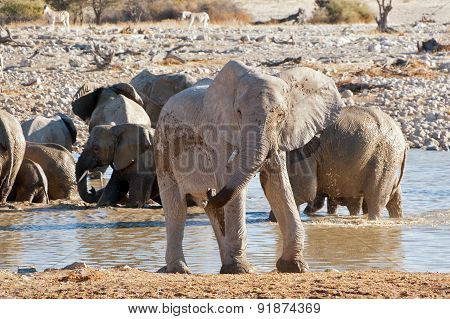 Elephant near waterhole. African nature and wildlife reserve, Etosha, Namibia