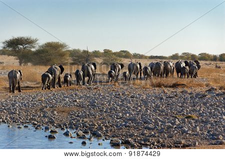 Elephants leaving waterhole. African nature and wildlife reserve, Etosha, Namibia